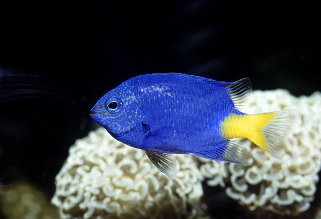 File:Yellowtail Damselfish.jpg - Wikimedia Commons