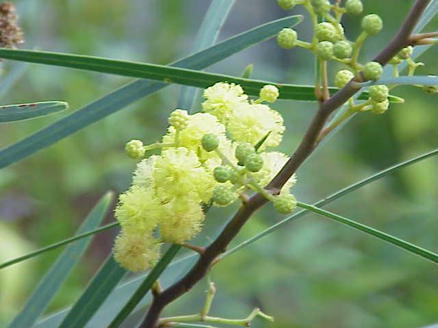 Acacia retinodes — Wikipédia