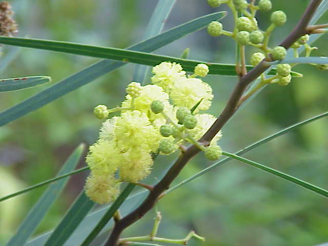 fleur mimosa