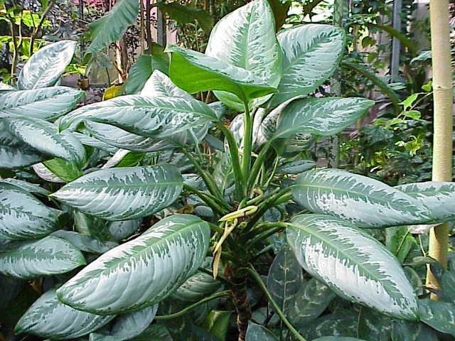 aglaonema plante dépolluante)