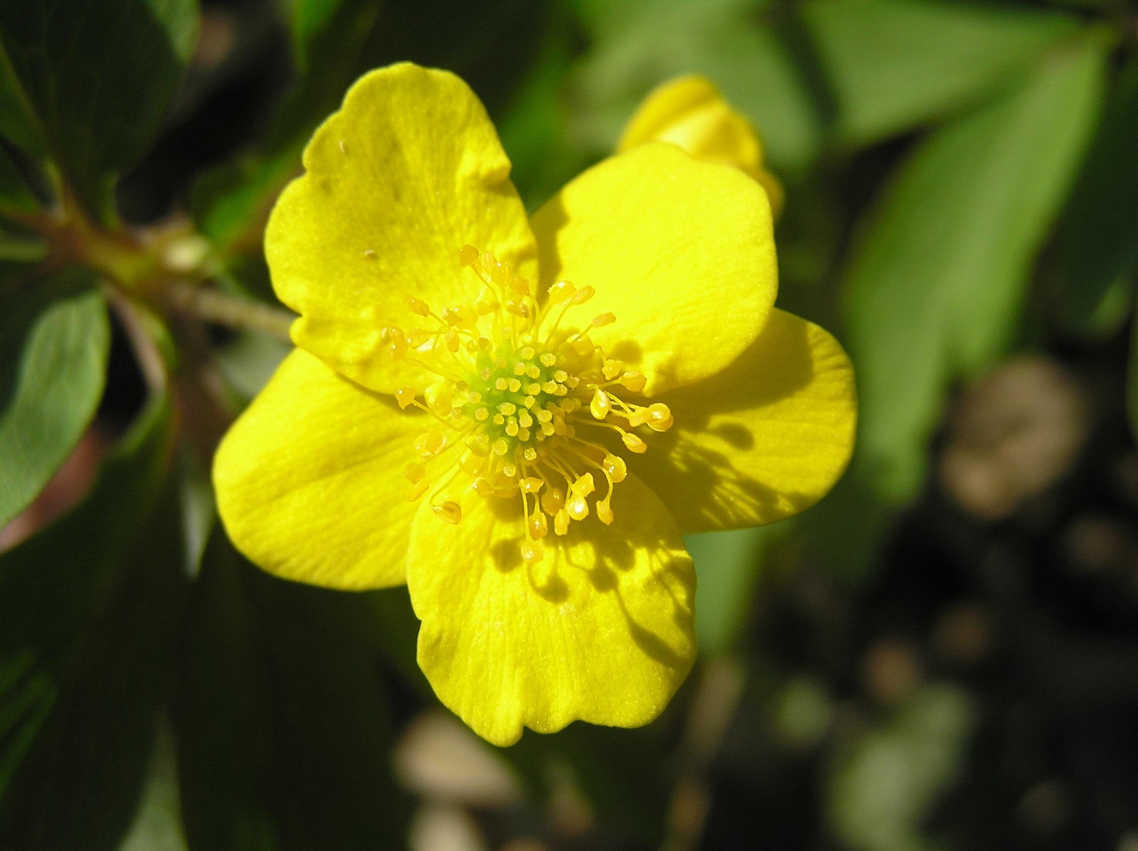 Ветреница лютичная фото цветка