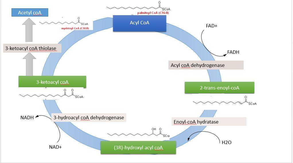Metabolisme Lipid Wikipedia Bahasa Indonesia Ensiklopedia Bebas