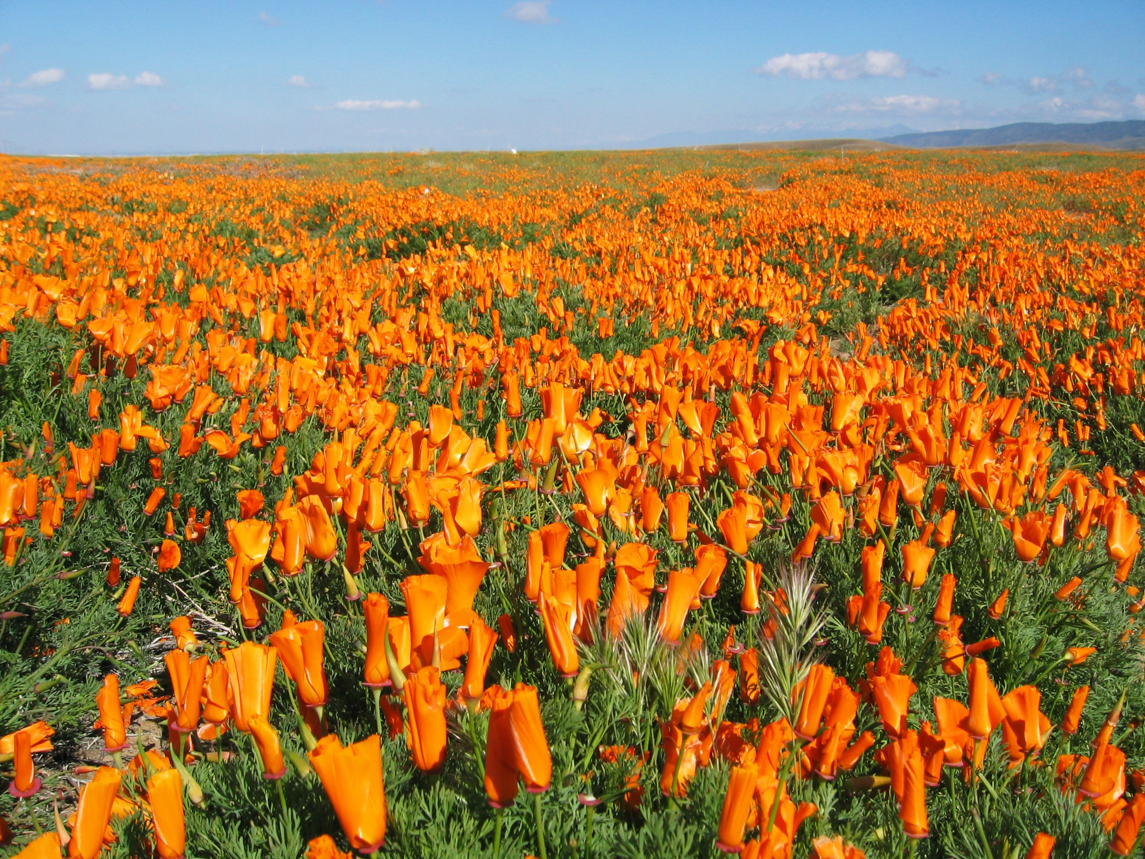 """California Poppies (<em>Eschscholzia californica</em>) at the Antelope Valley California Poppy Reserve in Los Angeles County, California. Photo by <a href=""""https://commons.wikimedia.org/wiki/File:Cal_poppy.jpg"""">Vision</a> via Wikimedia."""