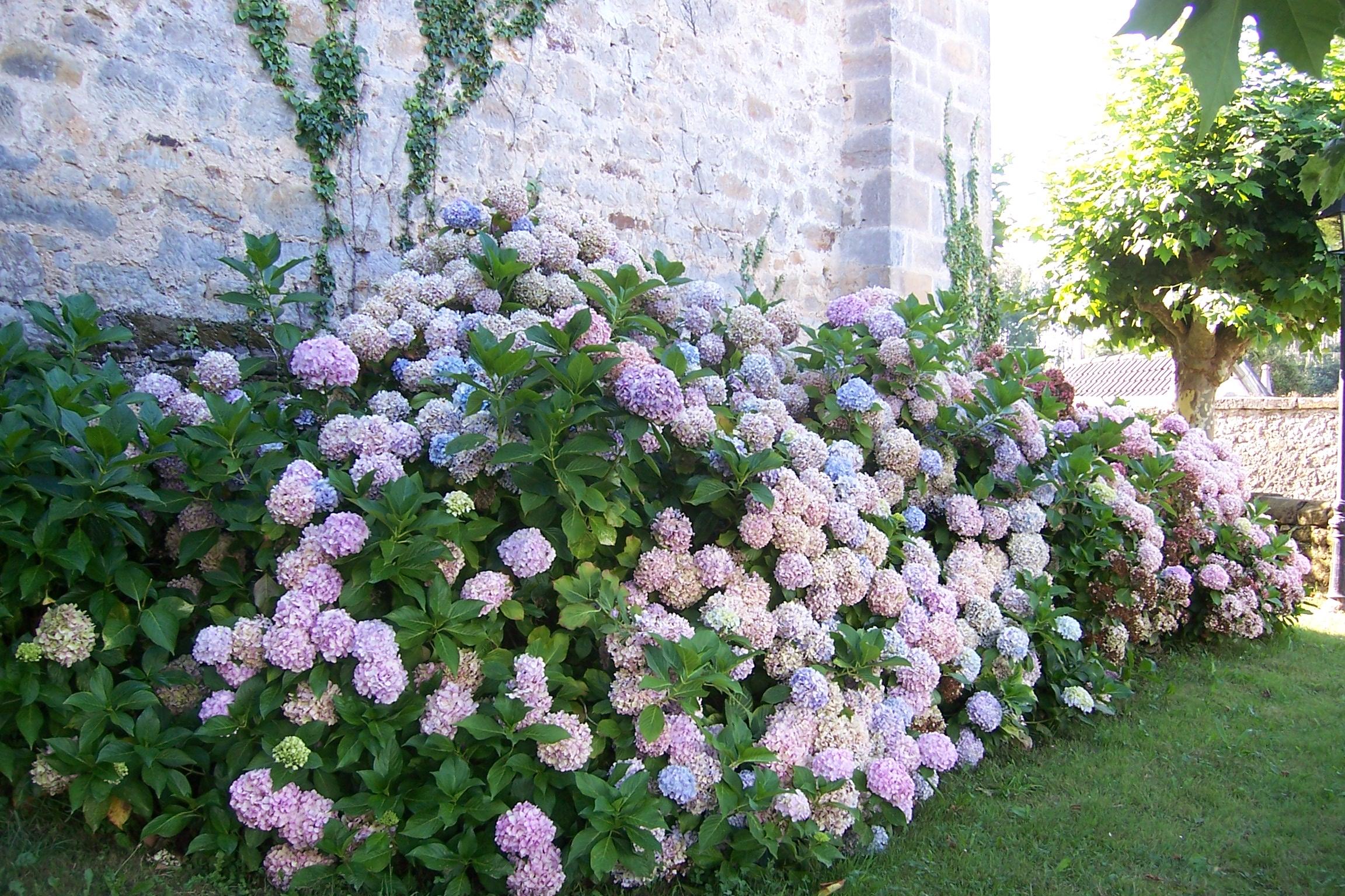 Archivo cantabria hortensias para wikipedia la - Cuidados de una hortensia ...