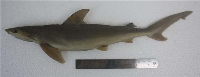 Carcharhinus sealei terengganu.jpg