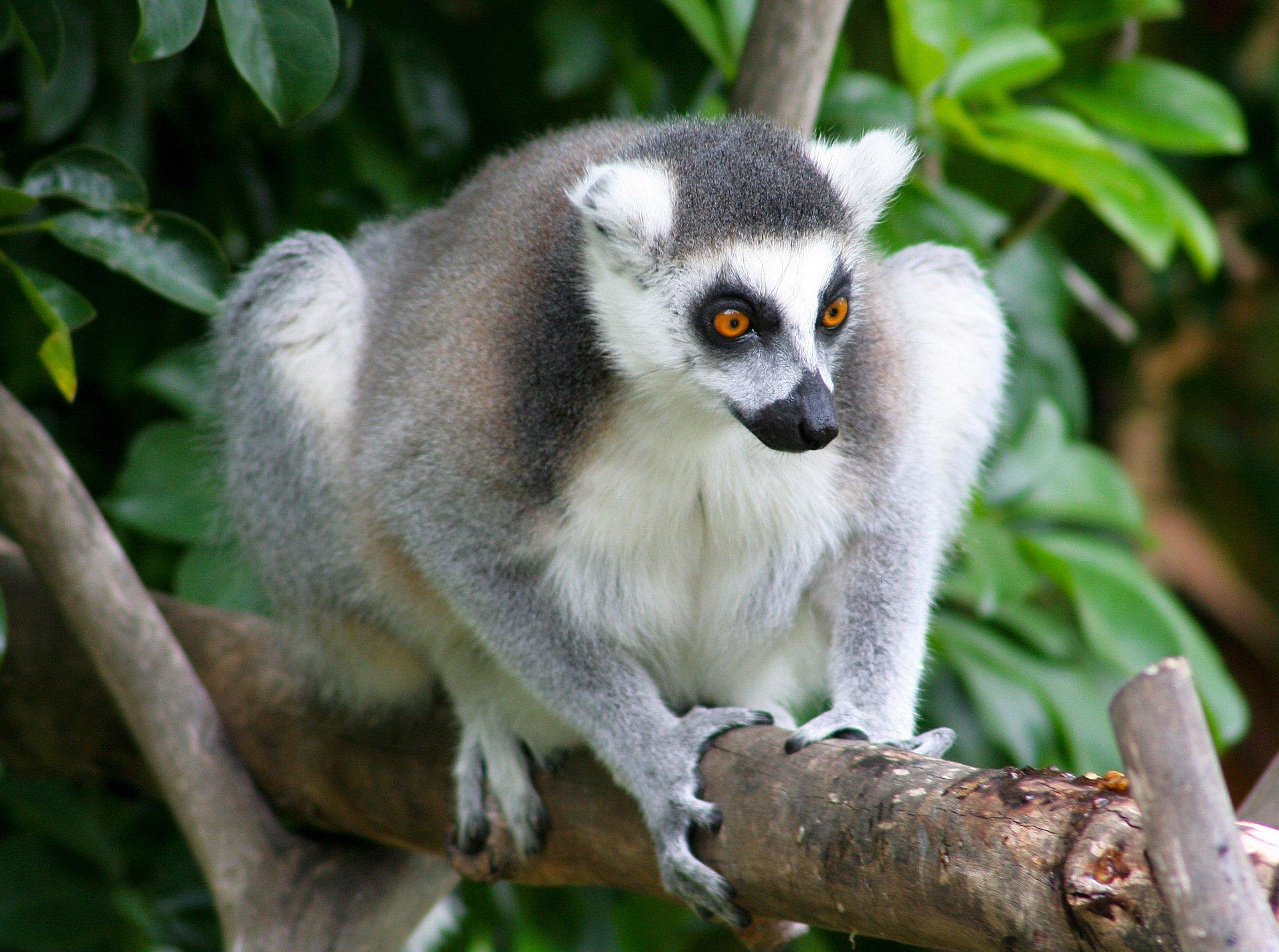 Lemurs are the World's Oldest Living Primates
