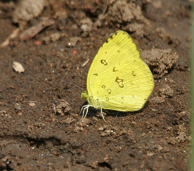 File:Common Grass Yellow (Eurema hecabe) in Kawal WS, AP W IMG 1784.jpg