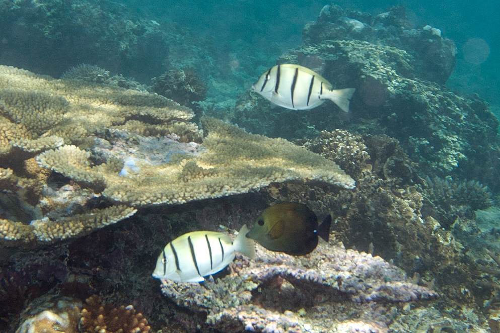 Convict Tang Wiki File Convict And Brushtail Tang 7669155532 Jpg
