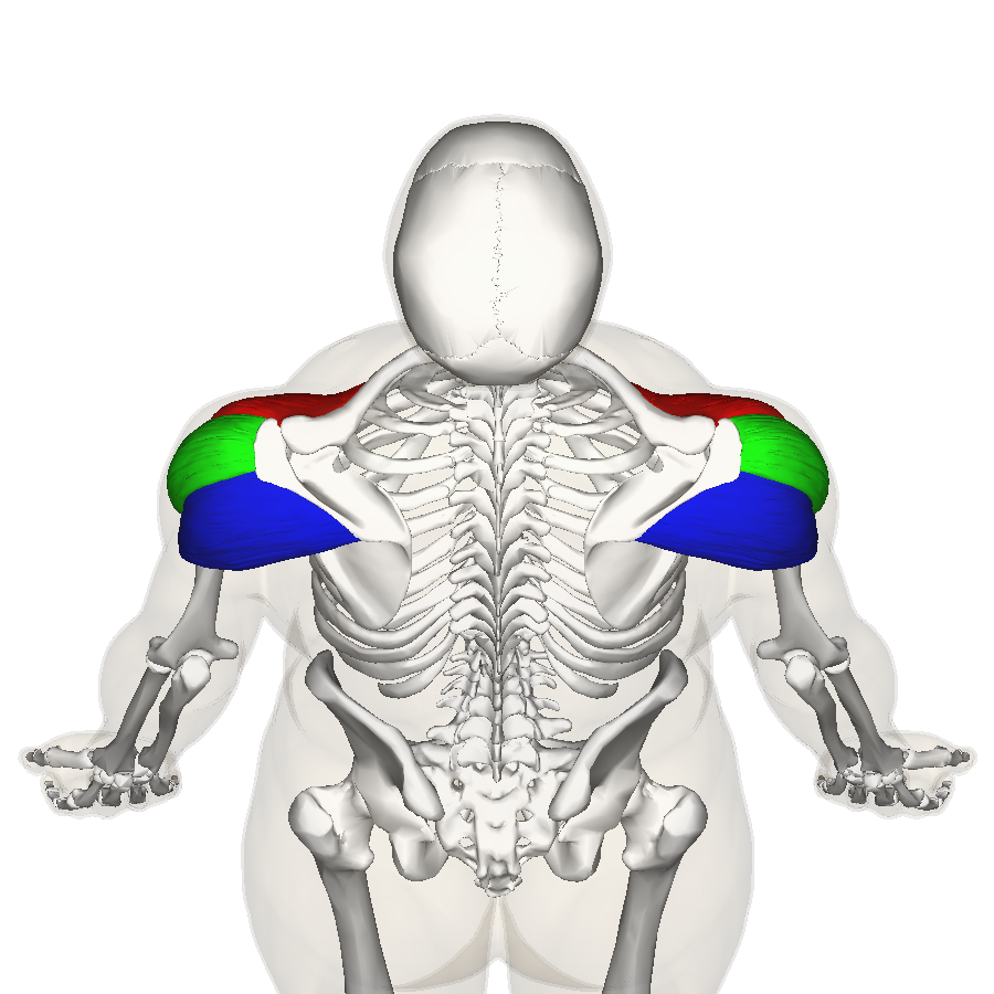 File:Deltoid muscle top4.png - Wikimedia Commons