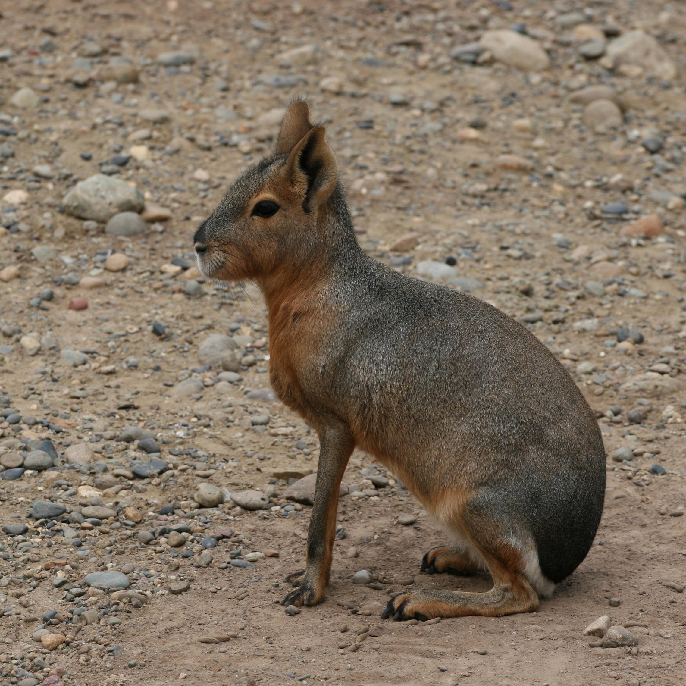 File:Dolichotis patagonum -Temaiken Zoo-8a-1c.jpg - Wikipedia