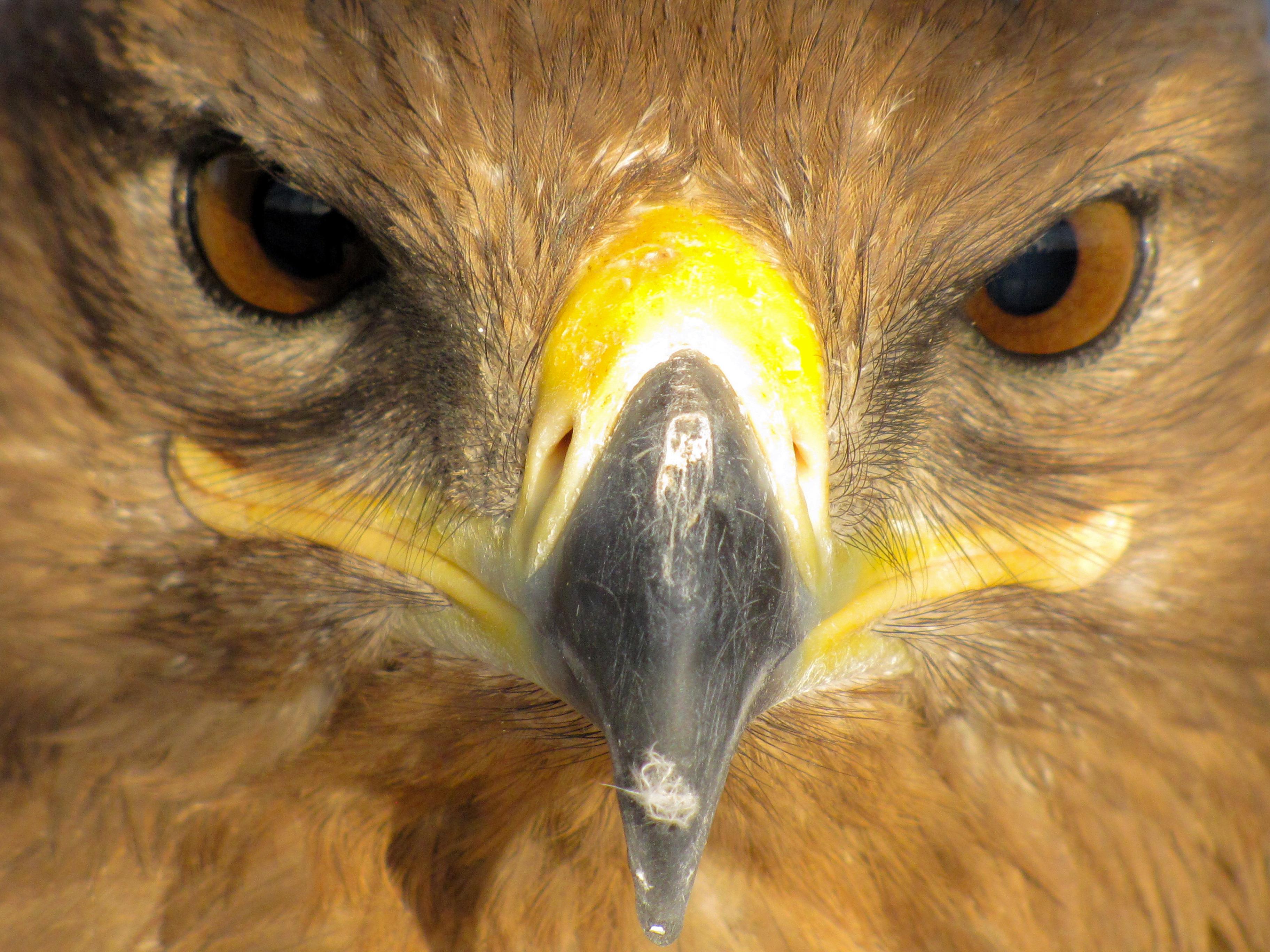 File:Eagle عقاب 03.jpg - Wikimedia Commons