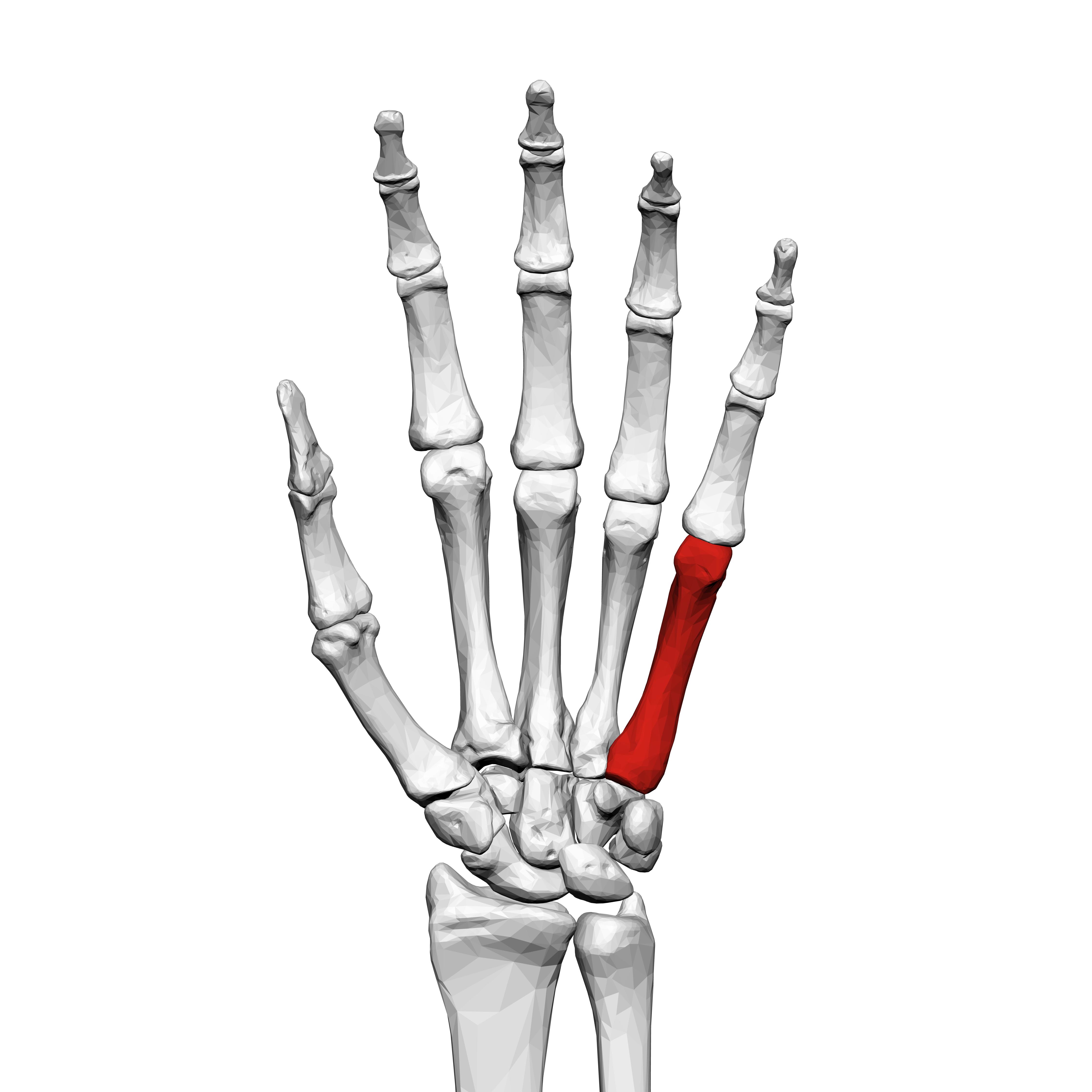 Fifth metacarpal bone (left hand) 01 palmar view.png