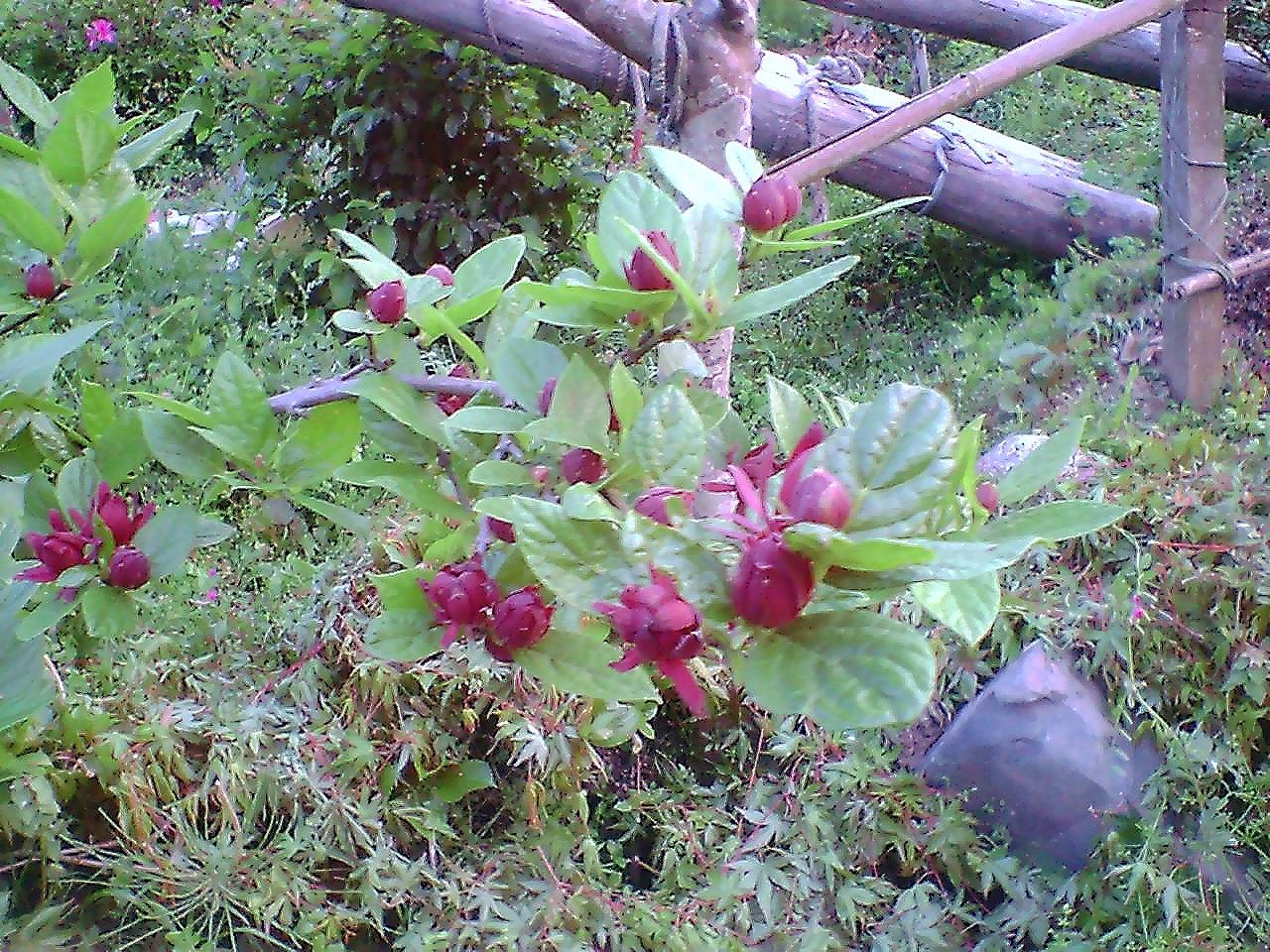 каликант флоридский