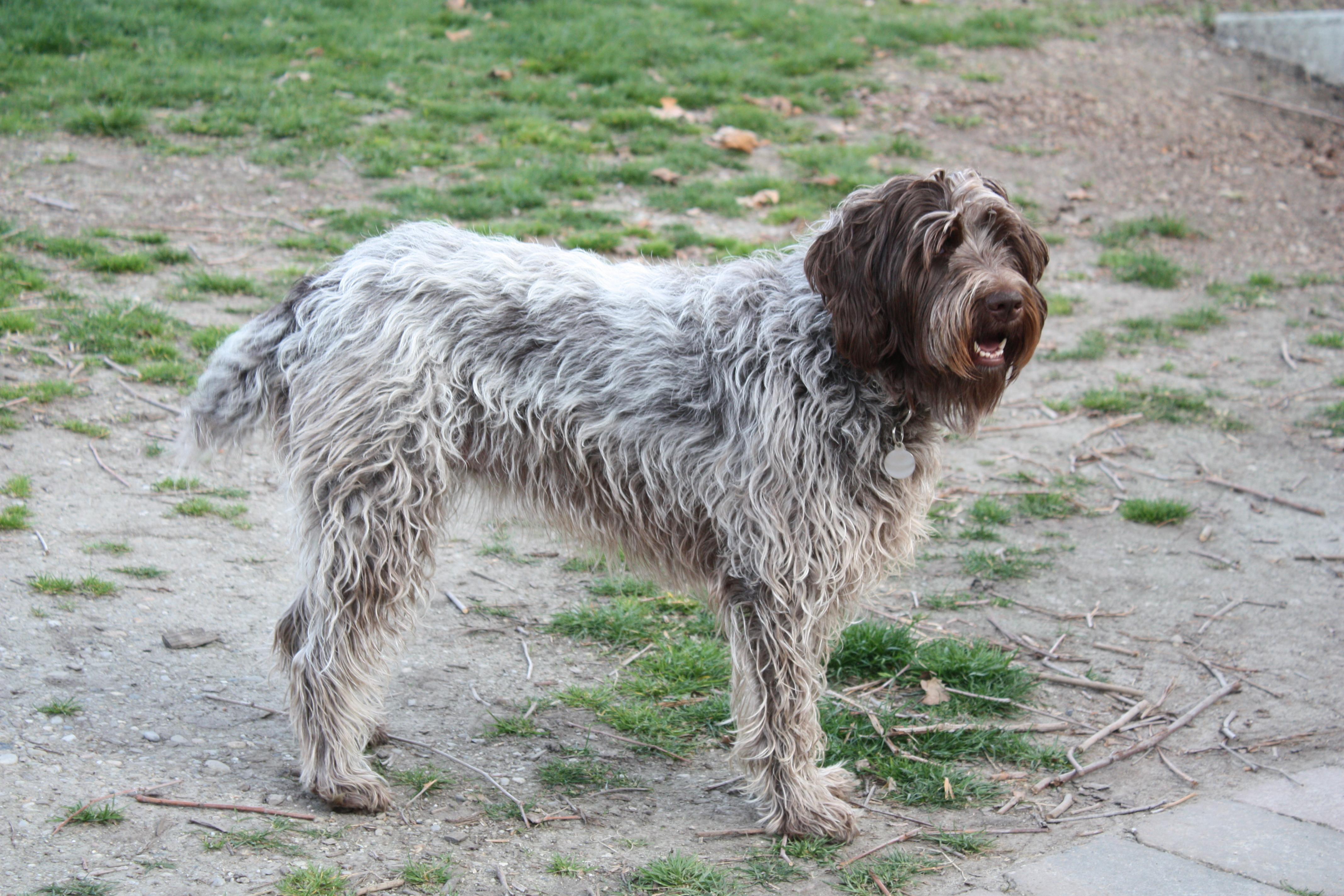 File:Griffon dog.jpg - Wikimedia Commons
