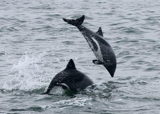 Heaviside-Delfine vor der K�ste von Walvis Bay/ Namibia; Fotografin: Jutta Luft