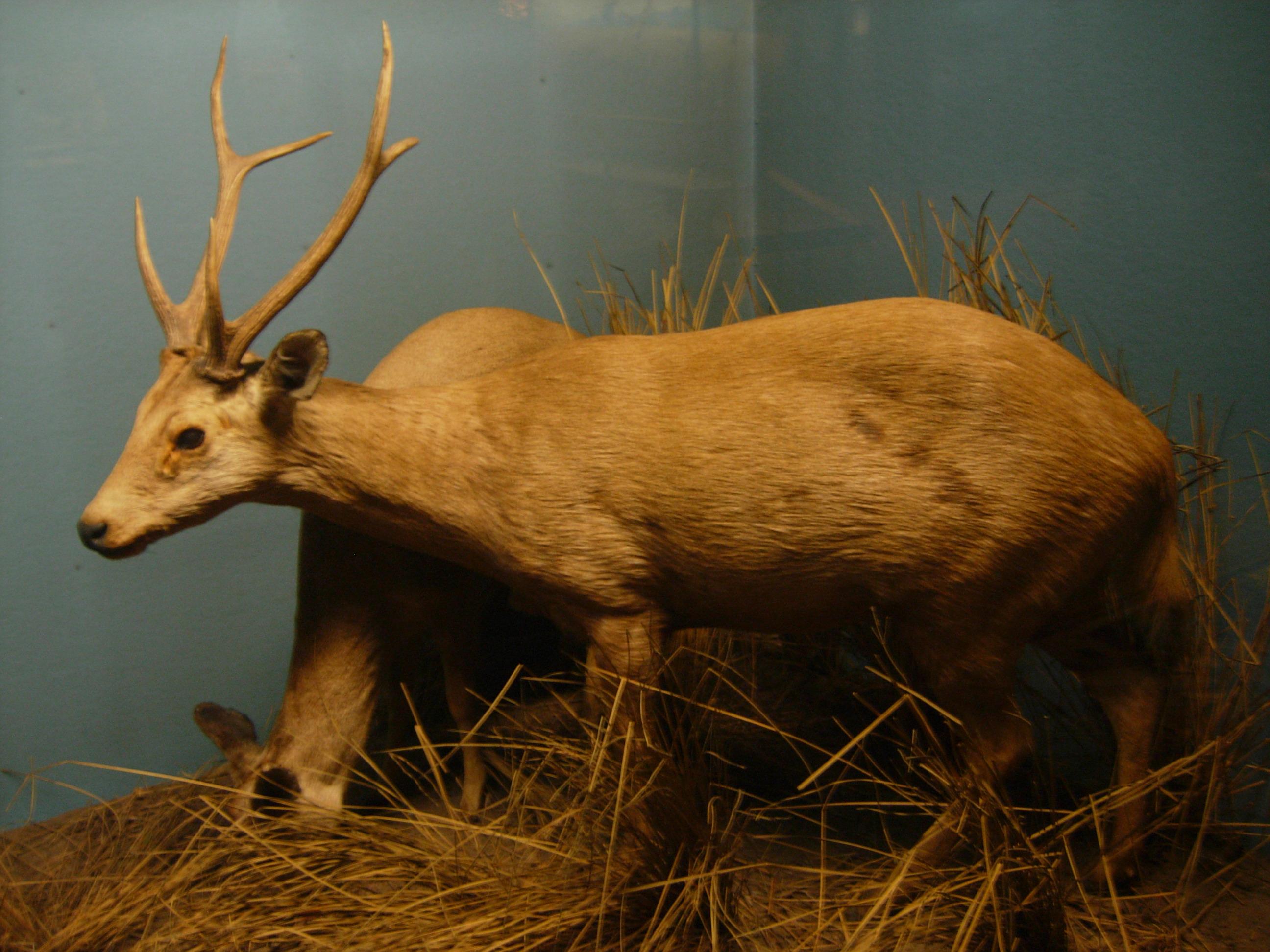 File:Hog deer.JPG - Wi...