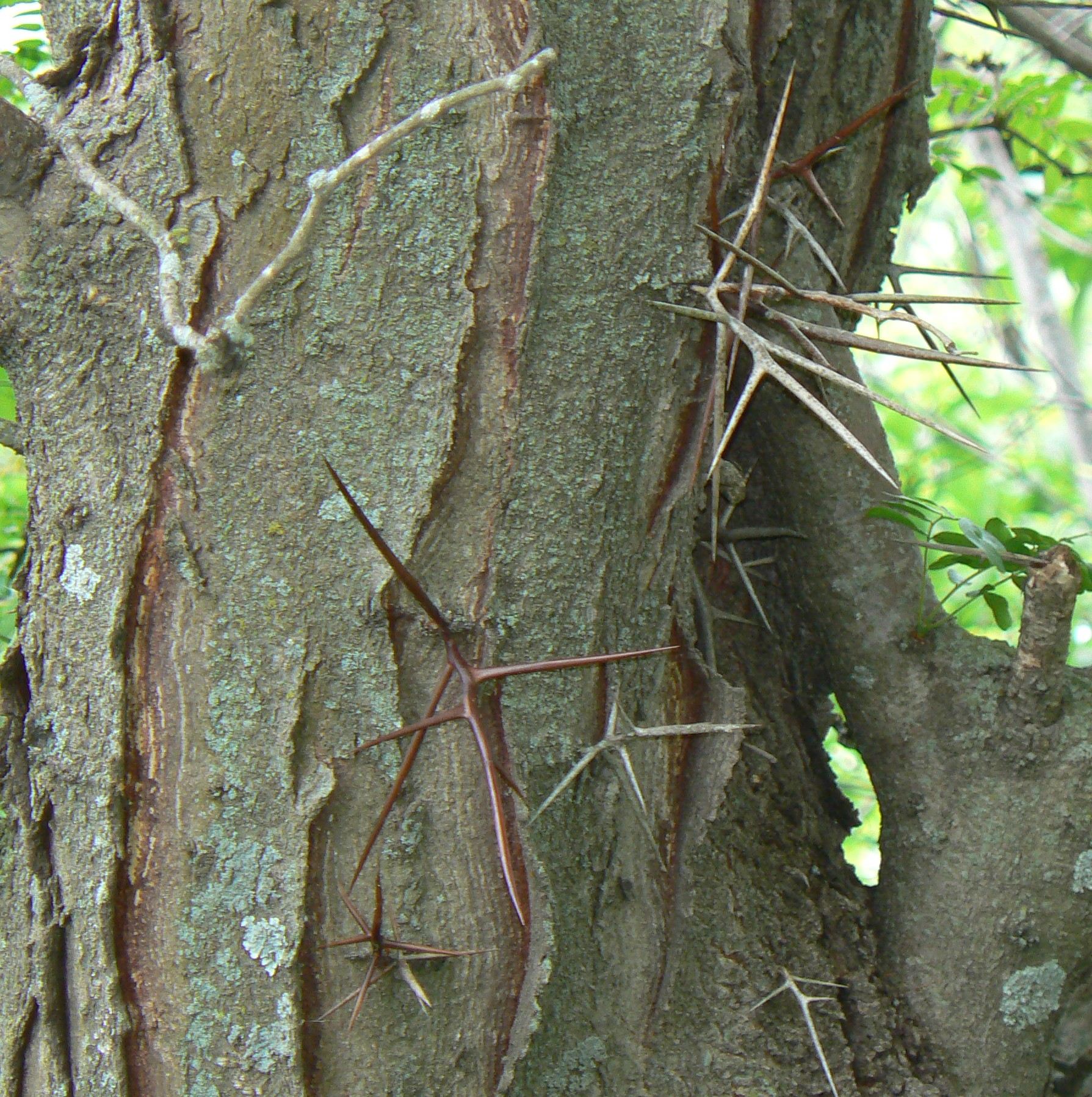 File:Honey locust thorns.jpg - Wikimedia Commons