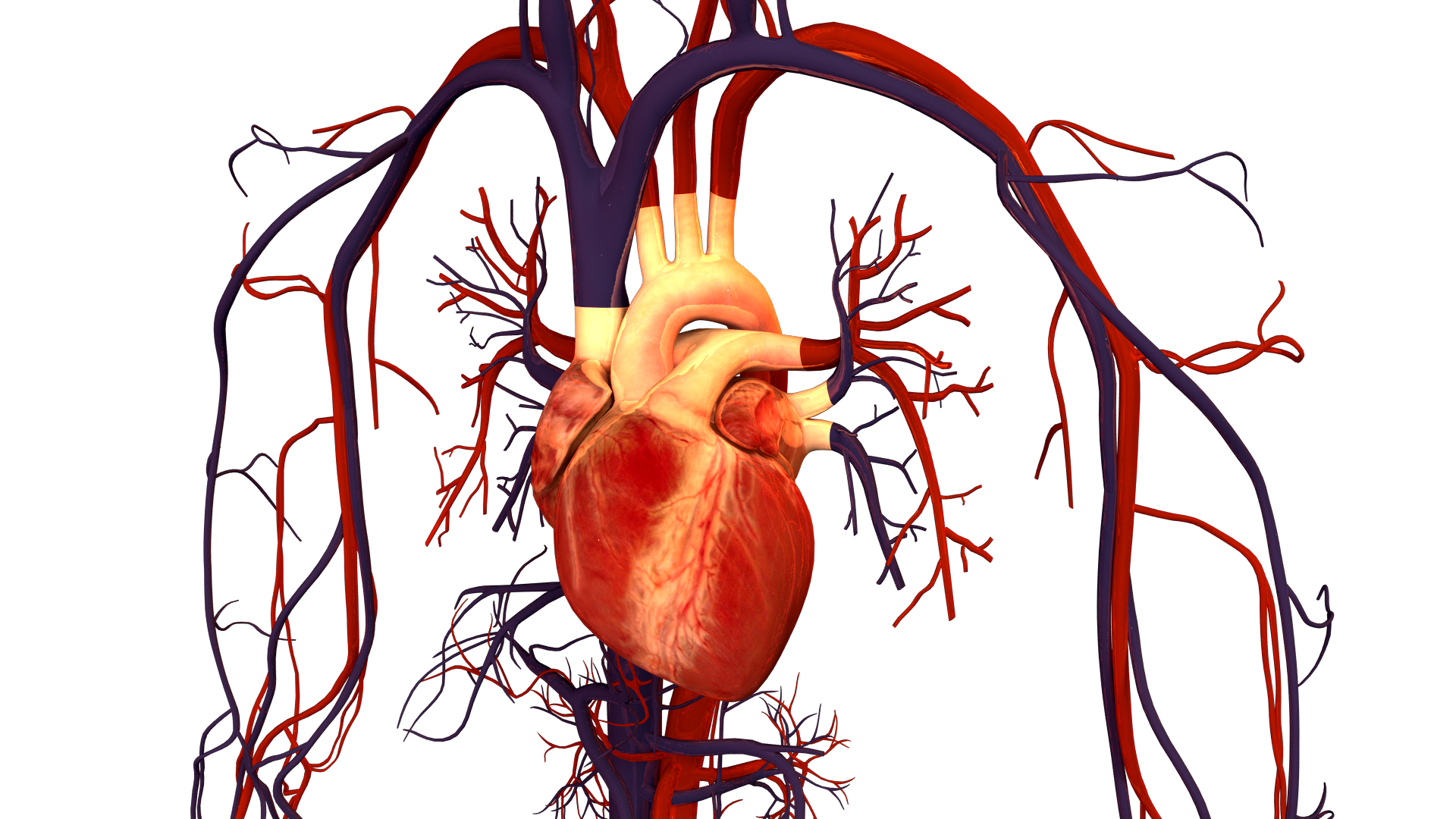 Filehuman Heart And Circulatory Systemg Wikimedia Commons