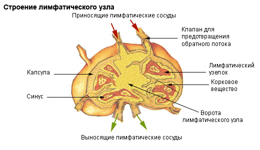 https://upload.wikimedia.org/wikipedia/commons/c/cb/Illu_lymph_node_structure_ru.png?uselang=ru