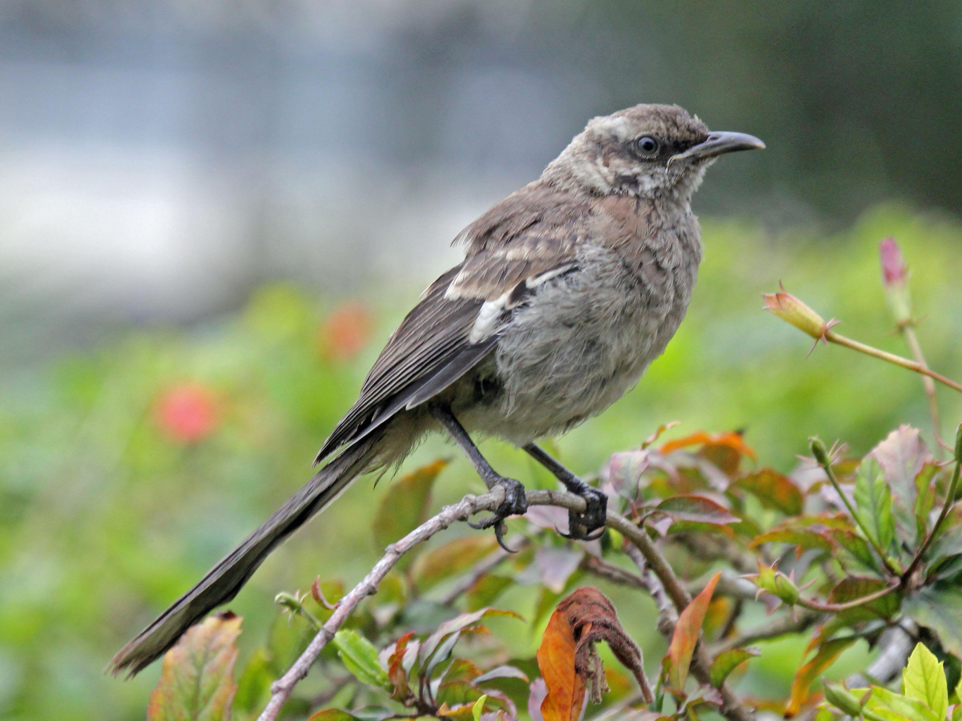 file long tailed mockingbird rwd3     wikimedia commons