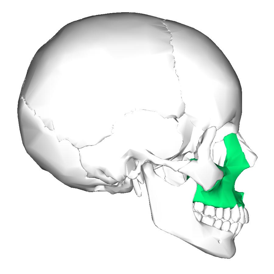 Maxillary Bone Wiki: Maxilla - upcSca...