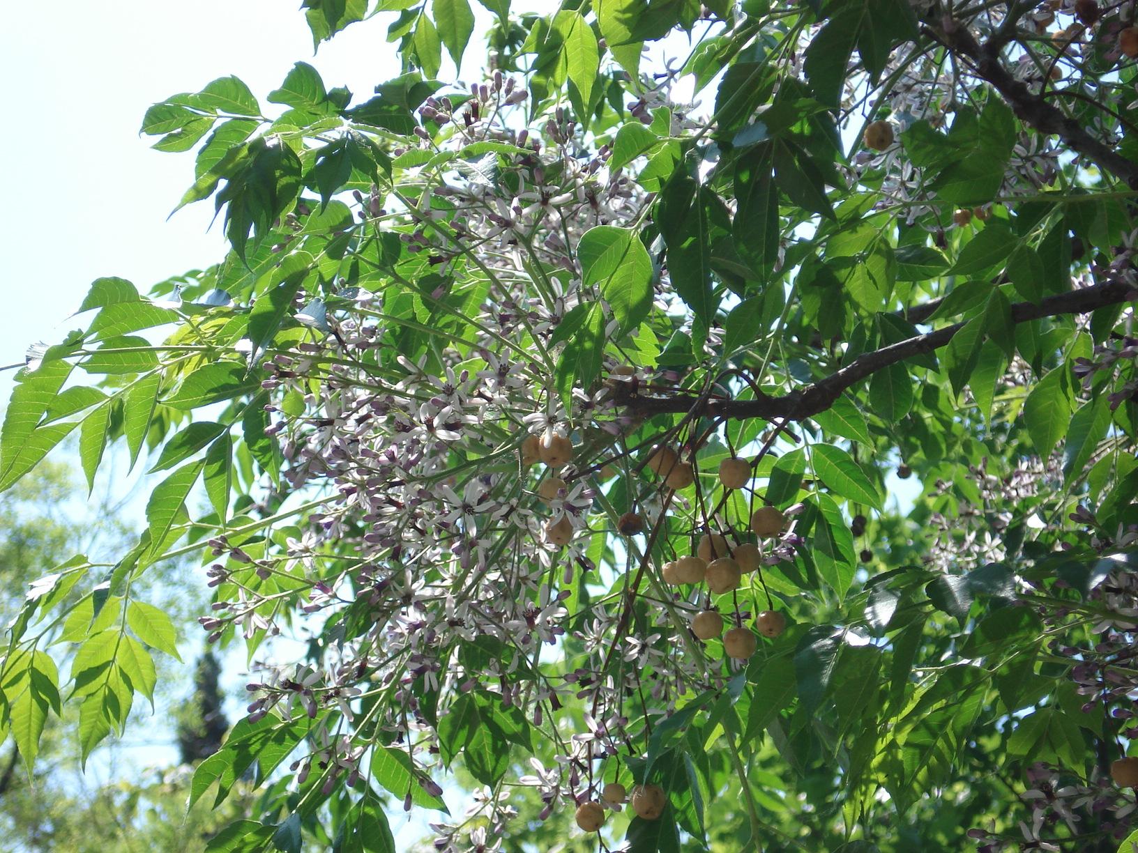 Tesbih Ağacı