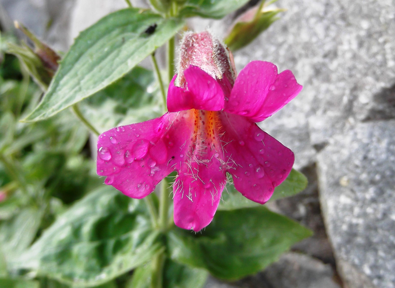 Filemimulus Lewisii Purple Monkey Flower Flickr Brewbooks 1