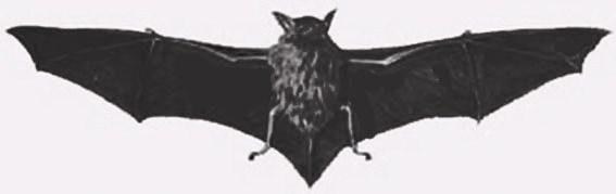 Myotis chiloensis.jpg