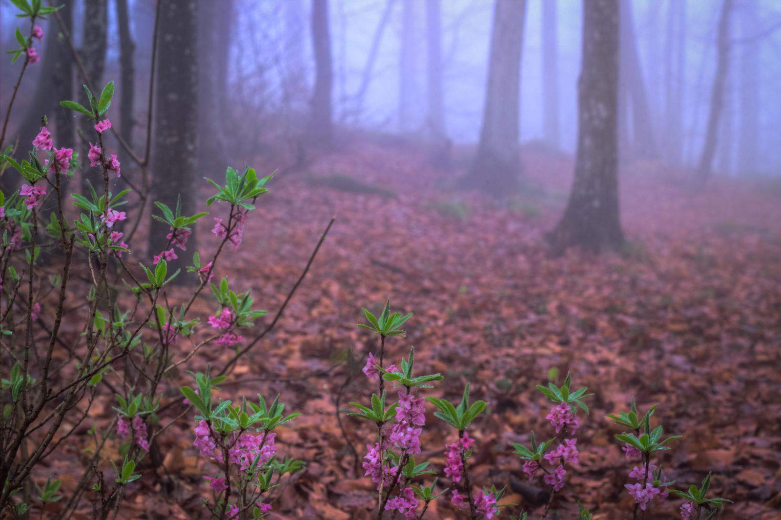 Cespugli Sempreverdi Con Fiori file:nel bosco, fiori profumati tra la nebbia - flickr