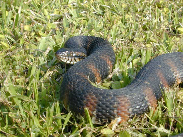 Florida Banded Water Snake Wikipedia