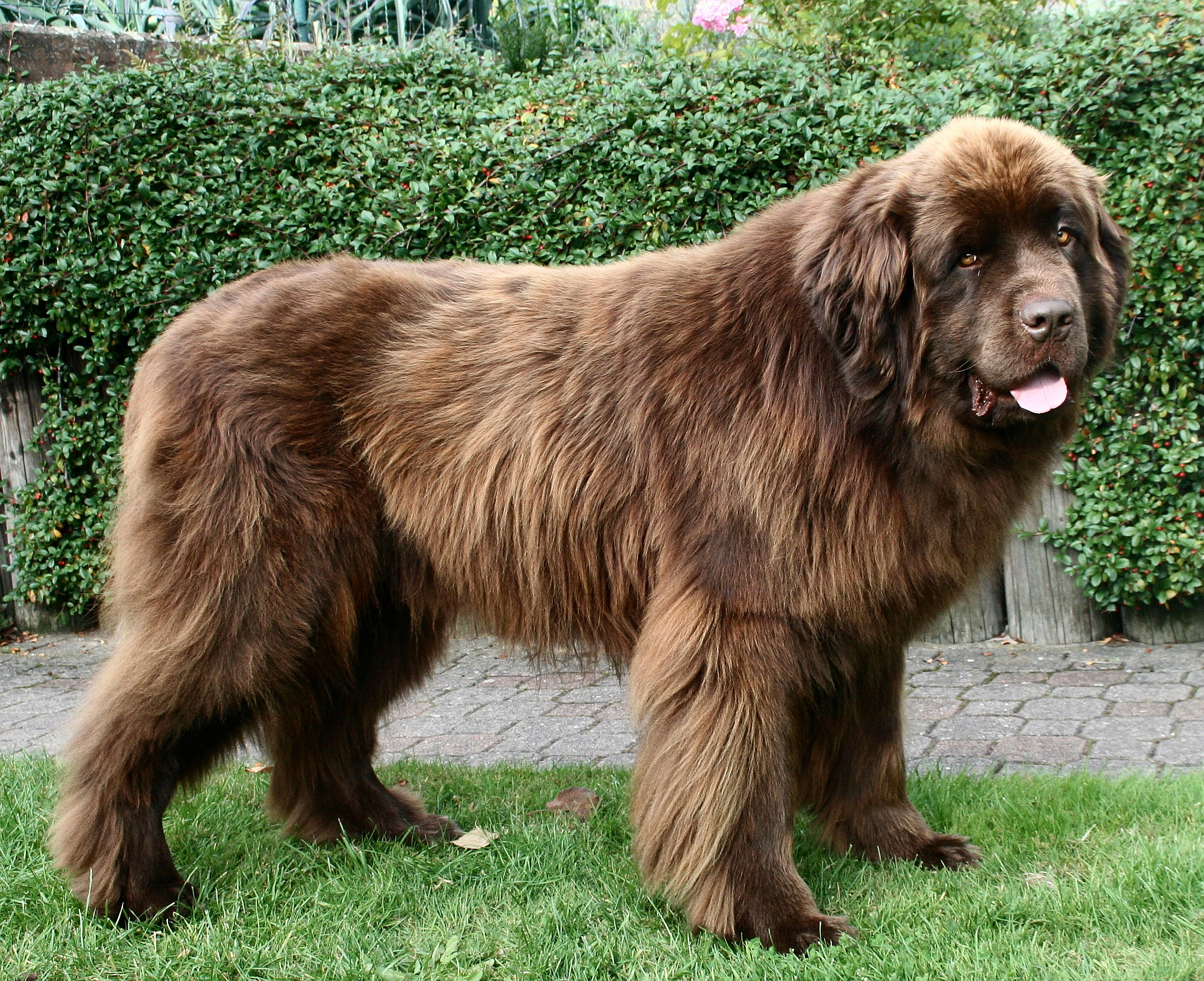 Saint Bernard Dog Breed Information and Pictures