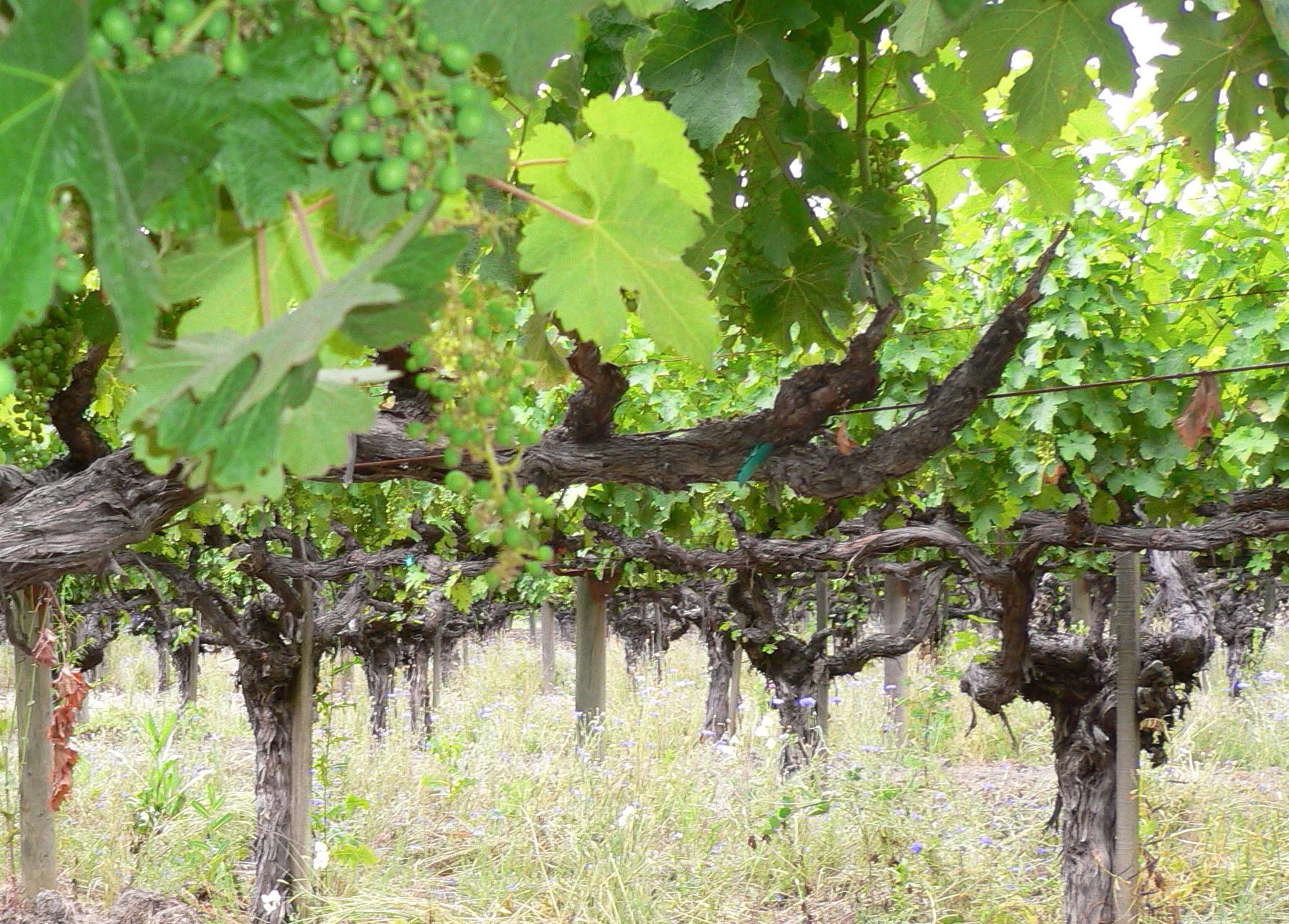 File:Old vine cabernet.jpg - Wikimedia Commons