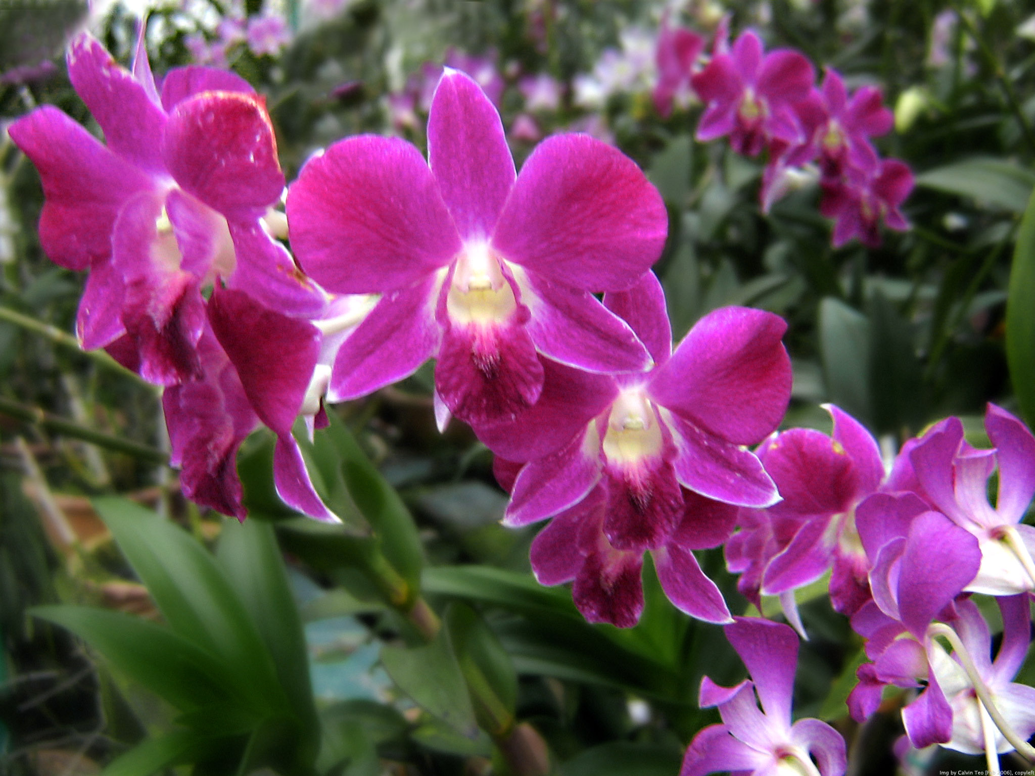 fileorchid flowers  wikimedia commons, Beautiful flower