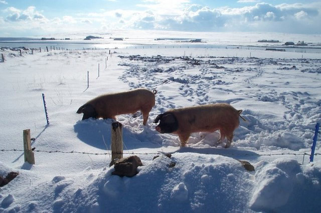 File:Pigs in the snow, Baltasound - geograph.org.uk - 1505239.jpg