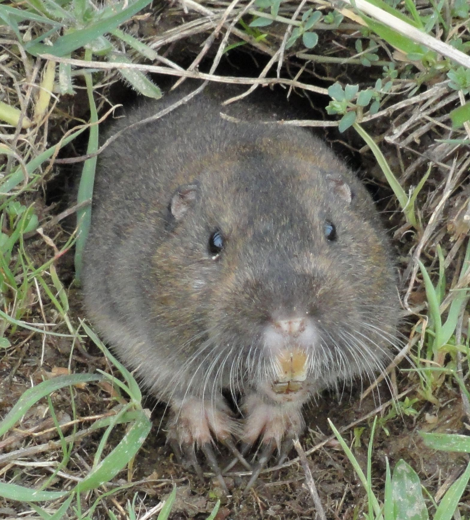 how to find gopher tunnels
