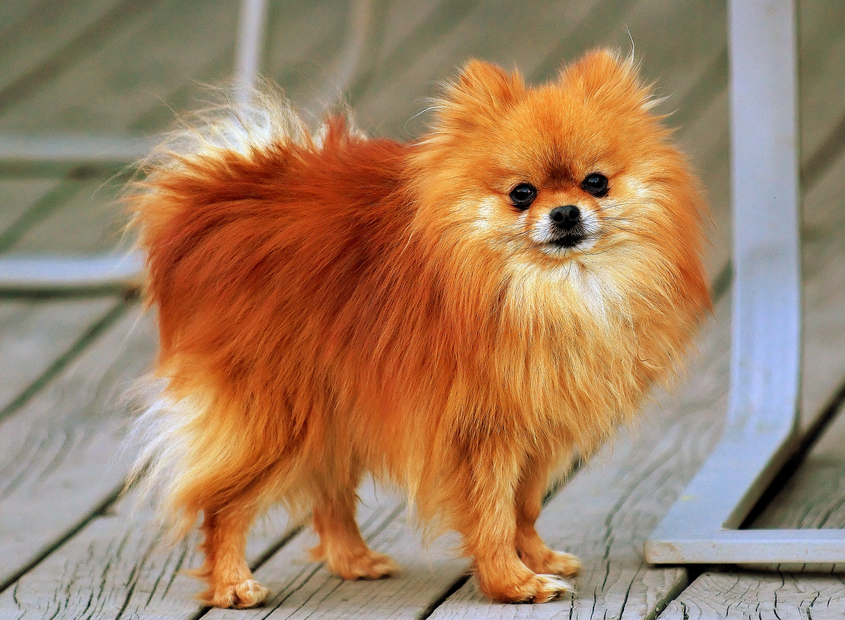 Orange Sable Pomeranian