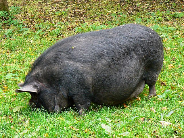 File Pot Bellied Pig Winterbourne Monkton Geograph Org
