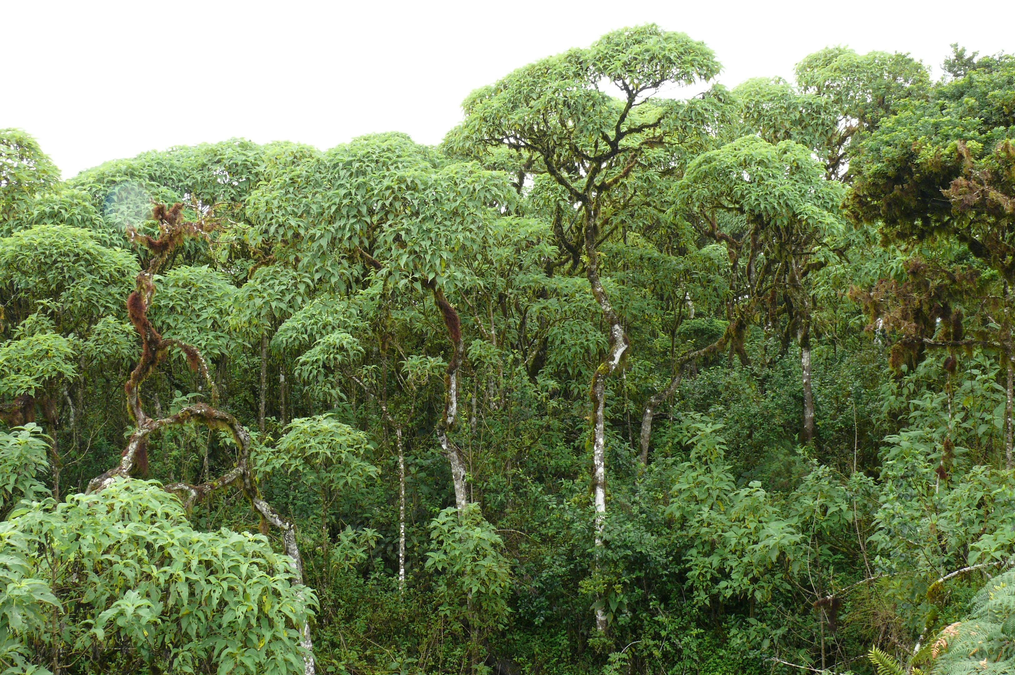 聖克魯茲島(Santa Cruz Island)-Scalecia森林_維基百科介紹