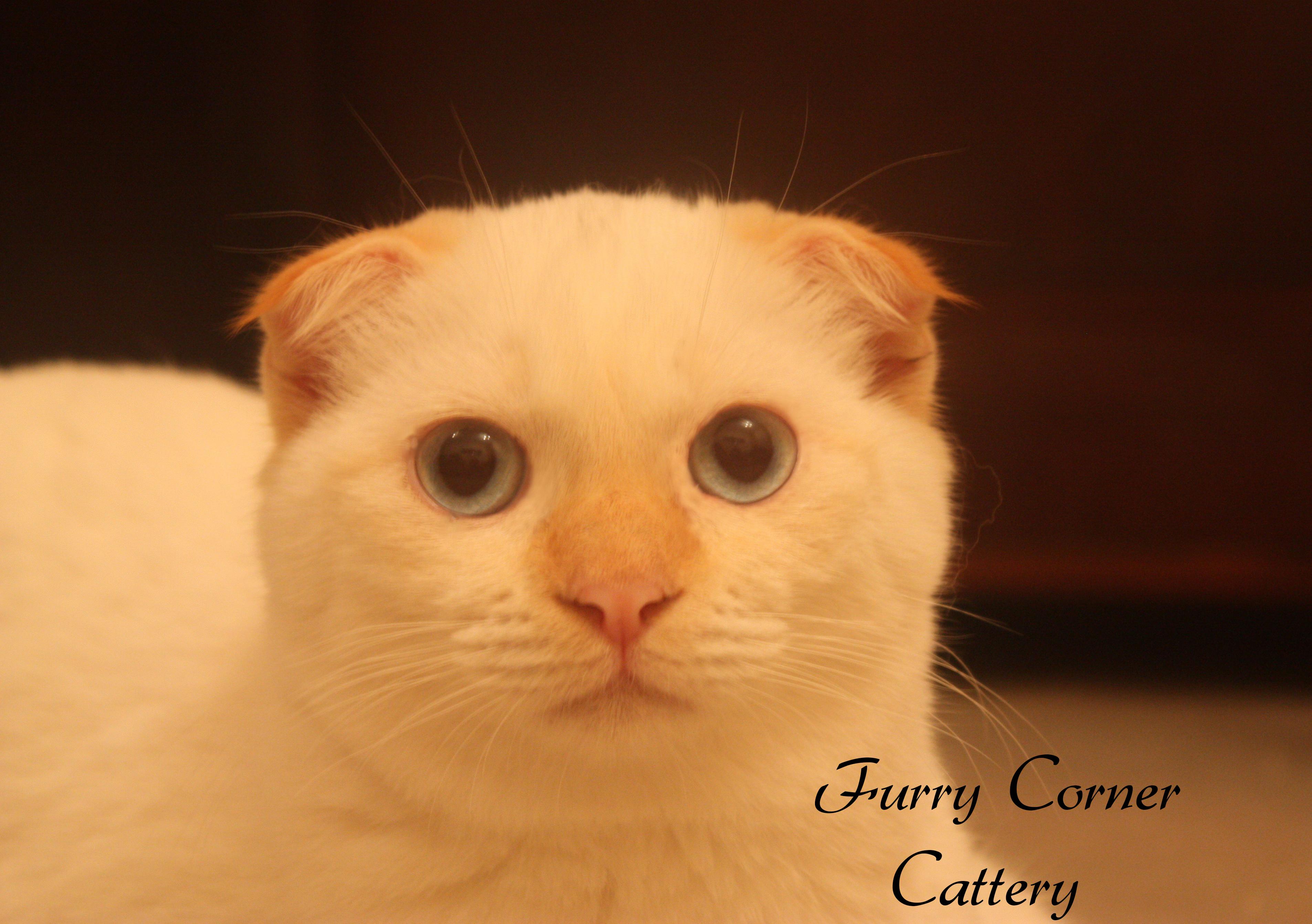 Orange Cat Flat Ears
