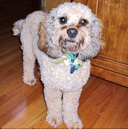 Cockapoo Puppy Coloring Pages - Coloring Pages For All Ages ... | 441x437