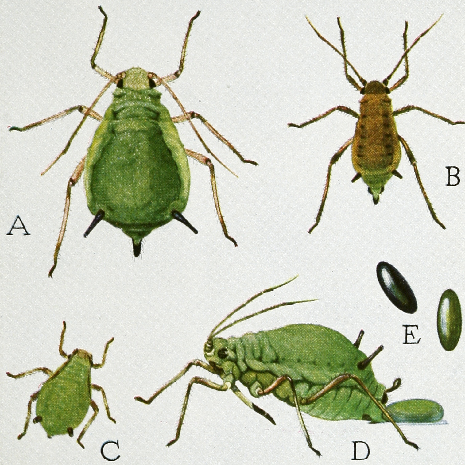 Aphid Wikipedia