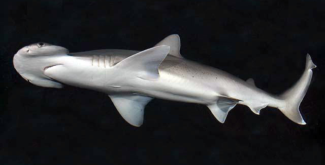 Bonnet head shark asexual reproduction definition