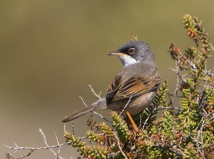 Rare Species Of Birds Spectacled warbler - W...