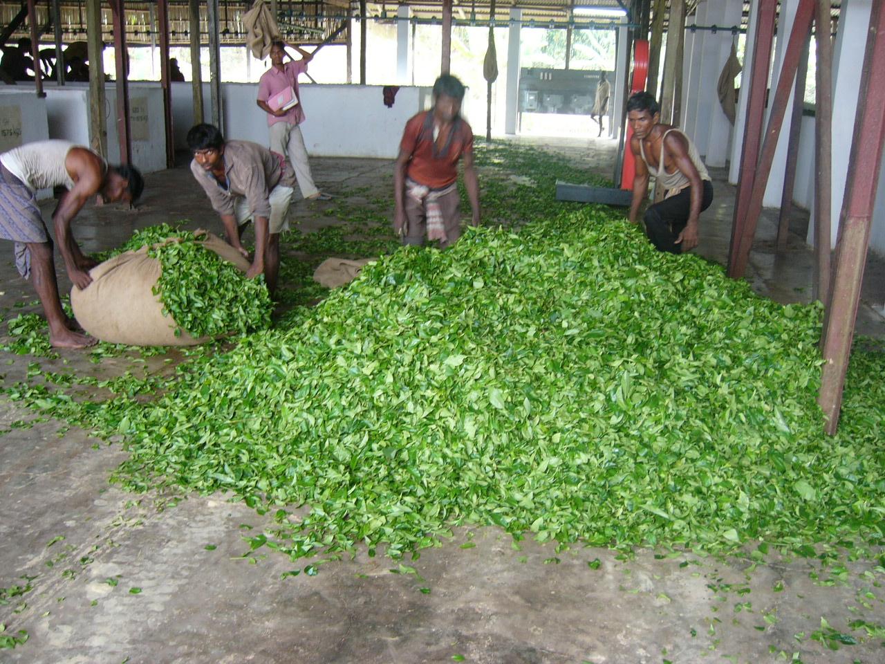 Оборудование для производства иван чая своими руками