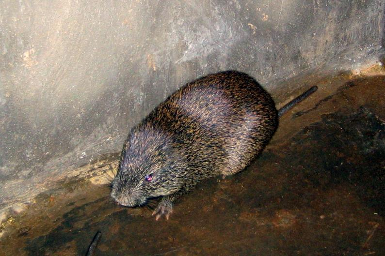 Greater Cane Rat Wikipedia