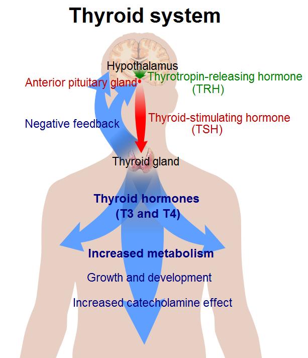 Система щитовидной железы