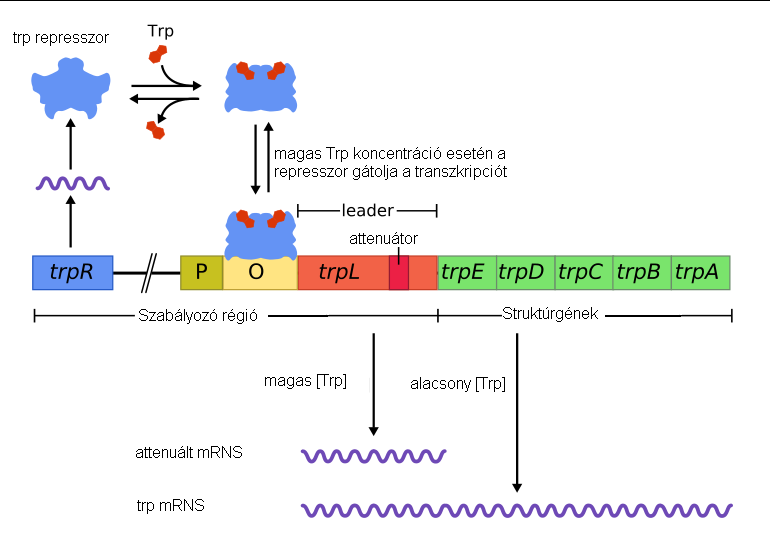 how to tell lac operon mutant phenotype
