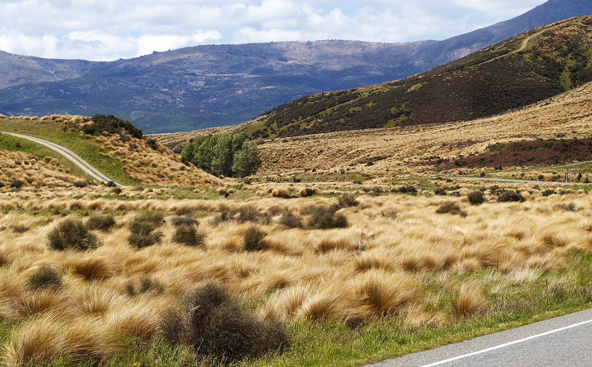 Tussock Grassland at State Highway 94, New Zealand.jpg