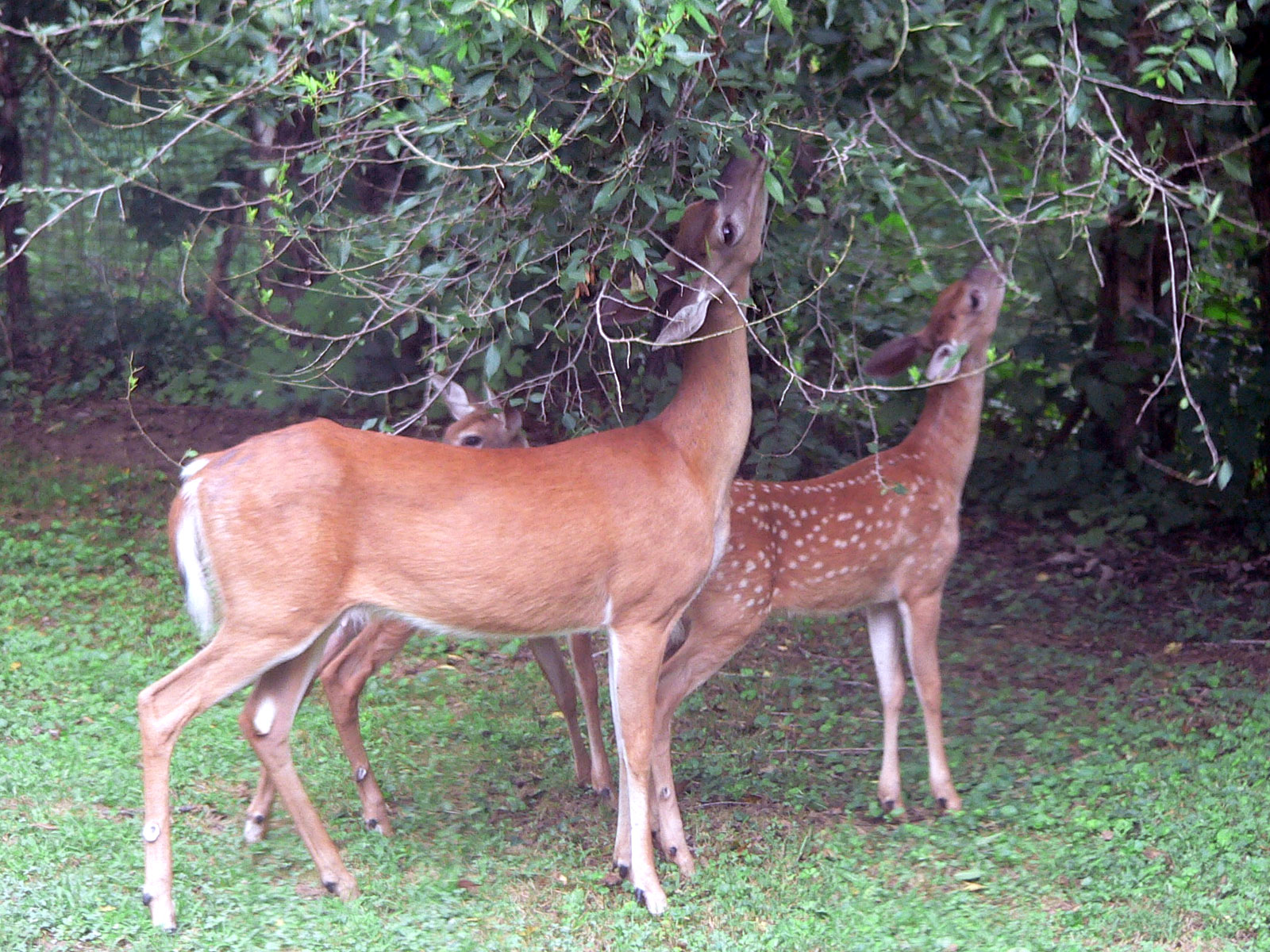 Tailed deer food chain displaying 15 images for white tailed deer food