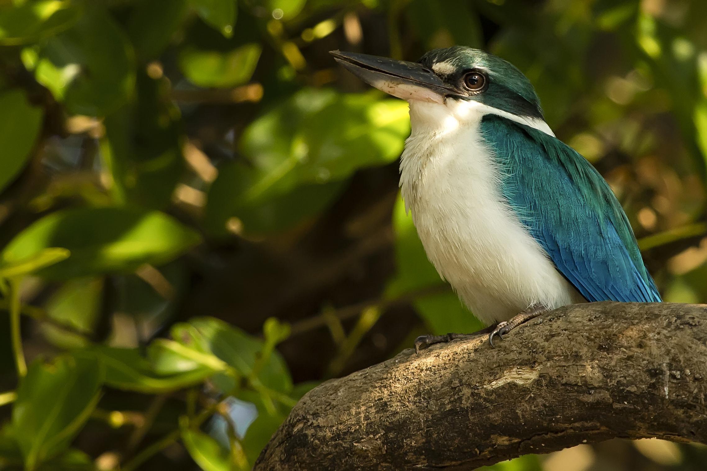 Islet kingfisher